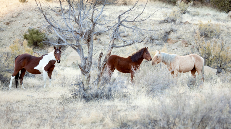 Wild Mustang Horses on Little Book Cliffs