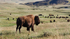 Bisons Roaming