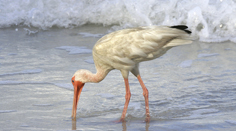 White Ibis on Tampa Beach